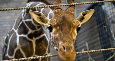Empleados del zoológico de Copenhague reciben amenazas de muerte después de la matanza de la jirafa