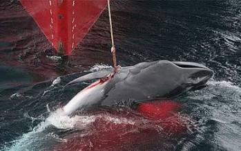 Corte de la ONU ordena a Japón detener la caza de ballenas.