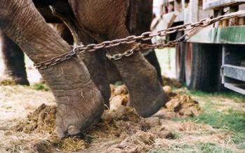 Multa de 700 mil pesos a circos que incluyan animales en sus espectáculos
