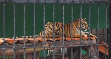Decomisan un tigre, dos monos araña y un pecarí a circo en Jalisco