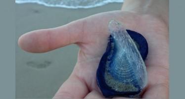 Miles de pequeñas criaturas marinas de color azulado invaden las playas de California