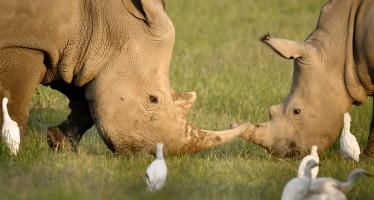 Rinoceronte blanco al borde de la extinción: sobreviven seis en el planeta