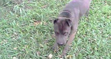 Podrían sacrificar a dos perros que mataron a una niña en California