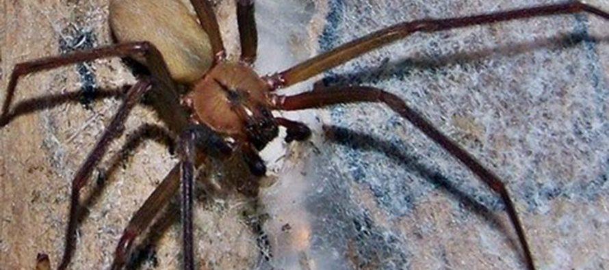 Comisión pide a la SSA abasto de antídoto contra picadura de araña violinista
