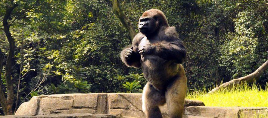 Murió Bantú, gorila del Zoológico de Chapultepec