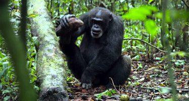 Se amplía el concepto de yacimientos arqueológicos por actividad de chimpancés