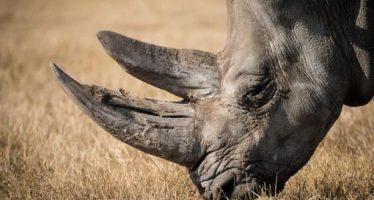 Queman cuernos de rinoceronte de un millón de dólares en zoológico de San Diego