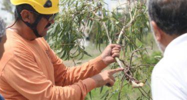 Plaga de muérdago afecta a la mitad de los árboles de la CDMX