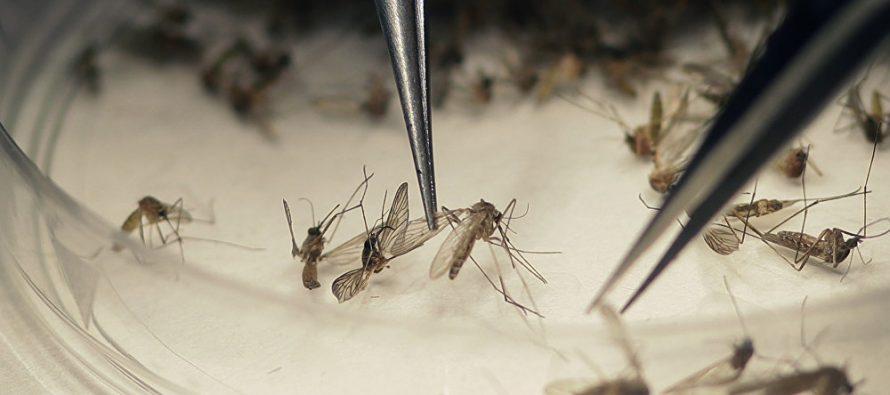 Liberan mosquitos transgénicos que contendrán a los que tienen zika y dengue
