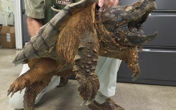 Rescatan enorme tortuga de una tubería en área residencial de Texas