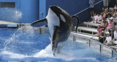 Murió Tilikum, la orca en cautiverio más grande del mundo