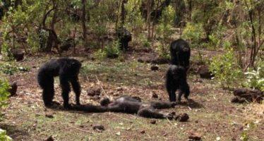 Chimpancé quiso volver a ser jefe de su grupo y este lo mató y se lo comió parcialmente