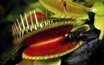 Cómo llegaron a ser carnívoras plantas de Australia, Asia y América