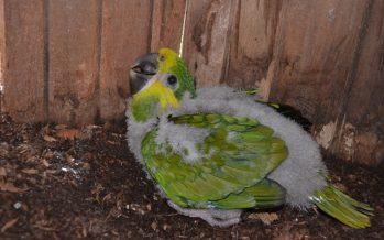 Protegen a loros en peligro de extinción mediante colocación de nidos, en Nuevo León