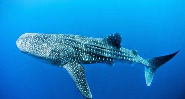 Congreso pide que Bahía de La Paz sea declarada Zona de Refugio para el tiburón ballena