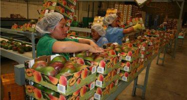 Aumentó la exportación de mango en primer bimestre de 2017