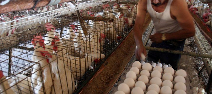 Reportan brote de gripe aviar en granja de Jalisco