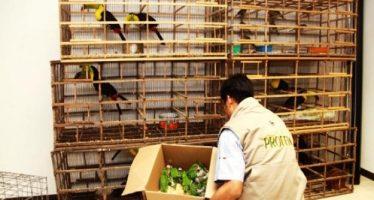 Autoridades aseguran 994 aves canoras y de ornato trasladadas ilegalmente en Michoacán