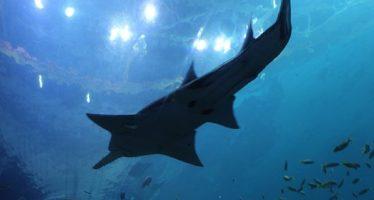 Solo queda un tiburón sierra de dientes chicos; rastrean más con técnicas modernas