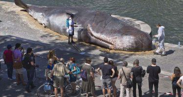 """Aparece cuerpo sin vida de """"ballena"""" en París, junto al Sena"""
