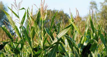 Exigen organizaciones campesinas garantizar soberanía alimentaria