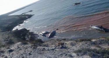 Hallan siete ballenas muertas en playa de El Campito, BCS