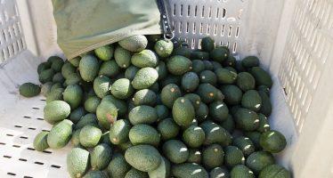 Aguacate se vende hasta en 90 pesos por kilo en Tijuana