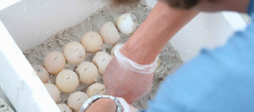 """Autoridades aseguran """"piratería"""" y huevos de tortuga en Jalisco"""