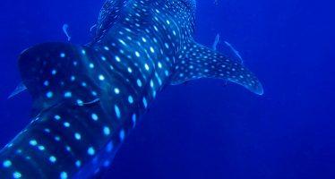 Gobierno federal llama a proteger al tiburón ballena