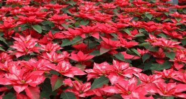 Lista venta de Flor de Nochebuena en Delegación Xochimilco