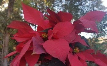 Flor de Nochebuena, más que una planta de ornato