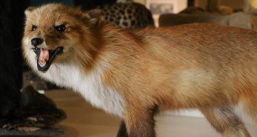 El Zorro Rojo, un astuto y hermoso carnívoro de cola esponjosa, es la pieza del mes de diciembre en el museo de historia natural