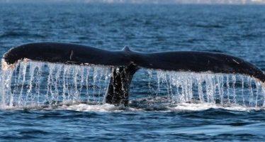 Ballenas sorprenden a surfistas y bañistas en Ixtapa-Zihuatanejo