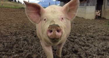 UE respondería por embargo de Rusia a importar carne de cerdo