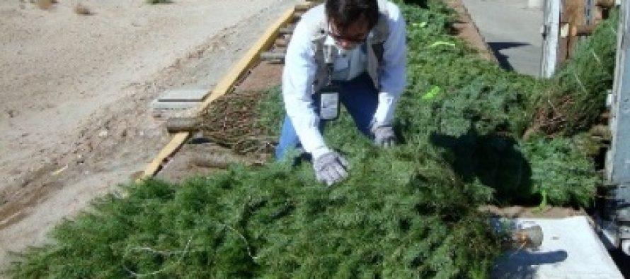 Venustiano Carranza inicia recolección de árboles de Navidad