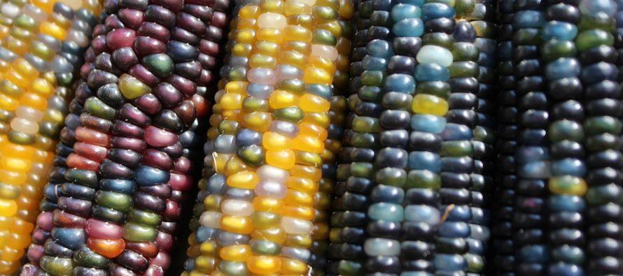 Analizan investigadores mexicanos los colores del maíz y sus propiedades