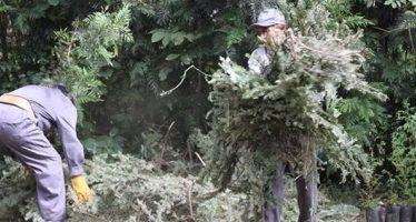Operan 235 centros de acopio para reciclar árboles de Navidad