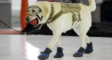 Perra rescatista Frida dona sus botas al Museo del Calzado