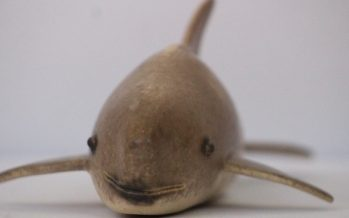 La Vaquita Marina invitada especial, como pieza del mes de febrero en el Museo de Historia Natural
