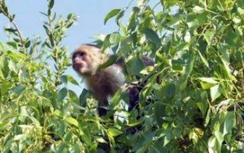 Bomberos trabajan para rescatar mono en Paseo de la Reforma