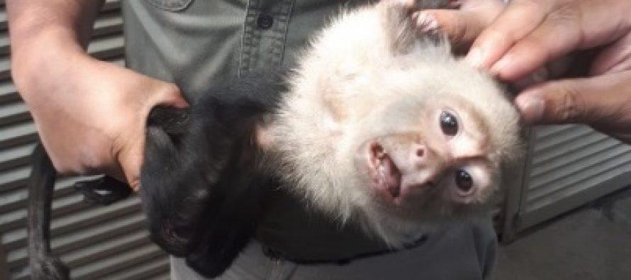 Capturan al mono capuchino de las Lomas de Chapultepec
