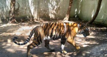 Autoridad ambiental asegura a Tigre de Bengala en Morelos