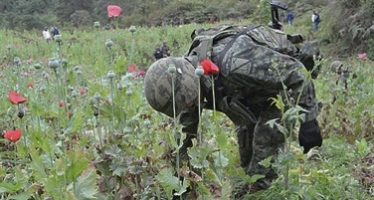 Autoridades destruyen plantíos de amapola en Jalisco