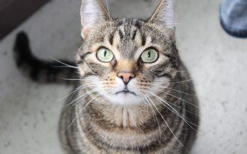 ¿Es posible curar genéticamente las enfermedades del gato?