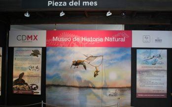 La tortuga y los patos de collar se presentan como la pieza del mes de mayo en el Museo de Historia Natural