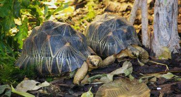 Policía encuentra 10.000 ejemplares de tortugas raras