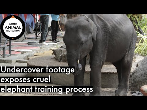 (Distressing) undercover footage exposes cruel elephant training