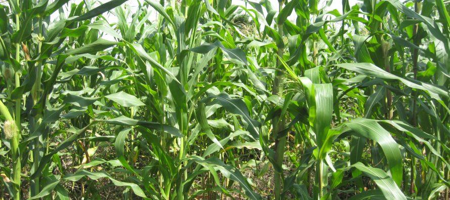 Cambio climático disminuirá rendimiento de cultivos en la próxima década