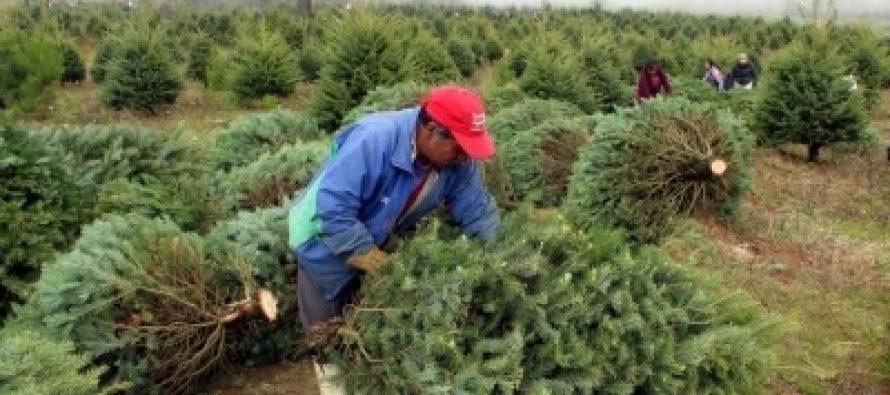 Listos, 19 centros de acopio de árboles navideños en el Edo Mex