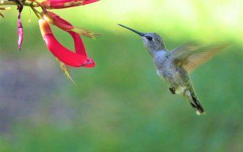 El colibrí, pequeño guerrero que lucha por sobrevivir